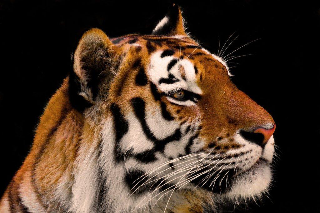 animal, tiger, big cat
